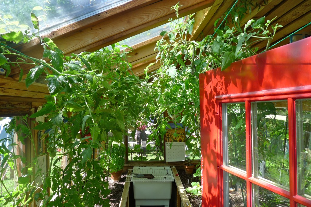 tomato shed